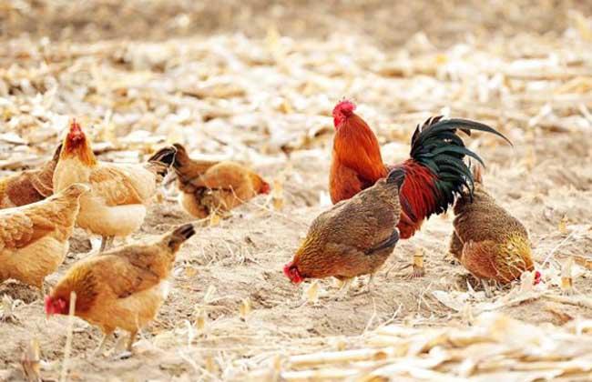 冬季鸡舍环境调控方法