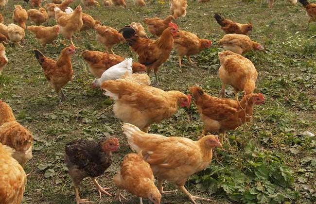 鸡养殖户育雏前要做哪些准备工作