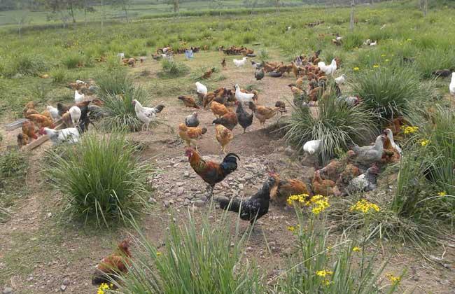 大面积山林放养土鸡的注意事项