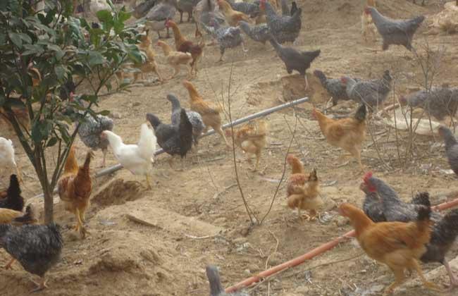 树林中散养鸡要注意哪些问题