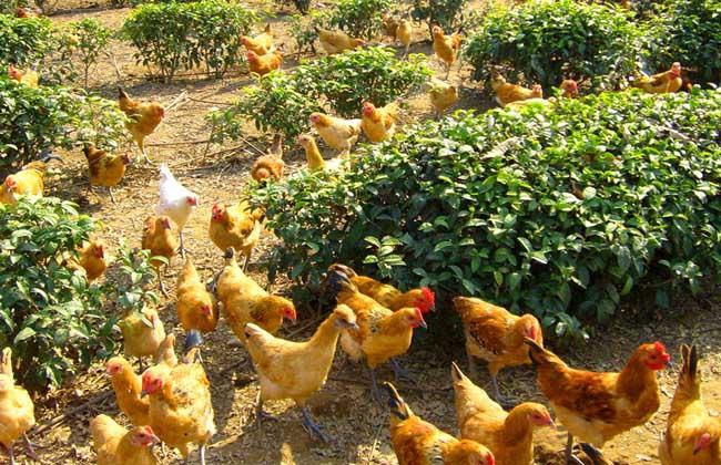 养鸡技术知识