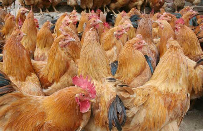 鸡舍消毒程序