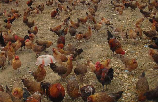 鸡的品种分类及特点