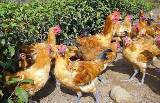 蛋鸡养殖技术