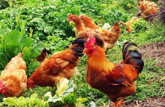 散养土鸡的养殖技术