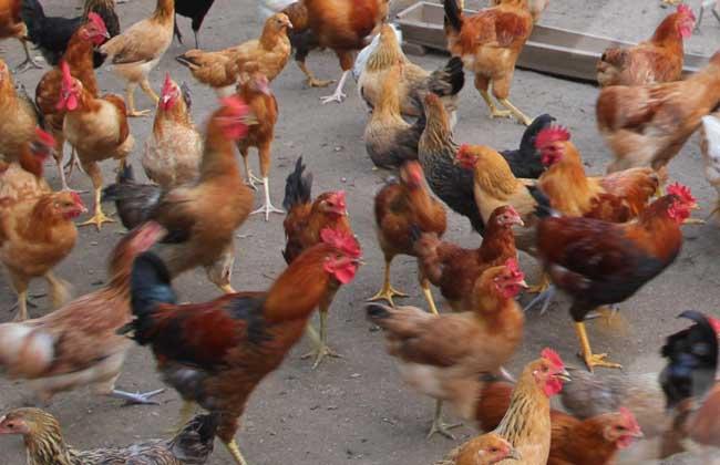 贵妃鸡养殖技术