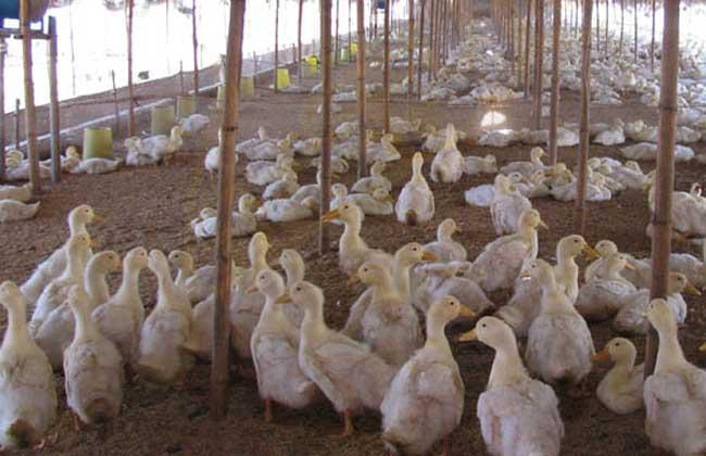 鸭传染性浆膜炎的防控技术