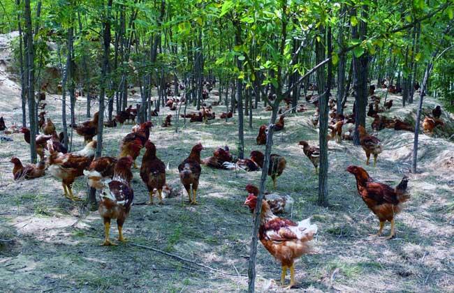 新式养鸡大棚的优势和建造方案