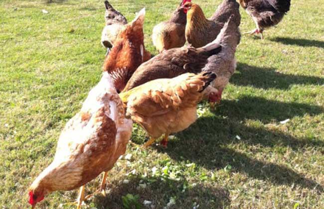 小鸡怎么养