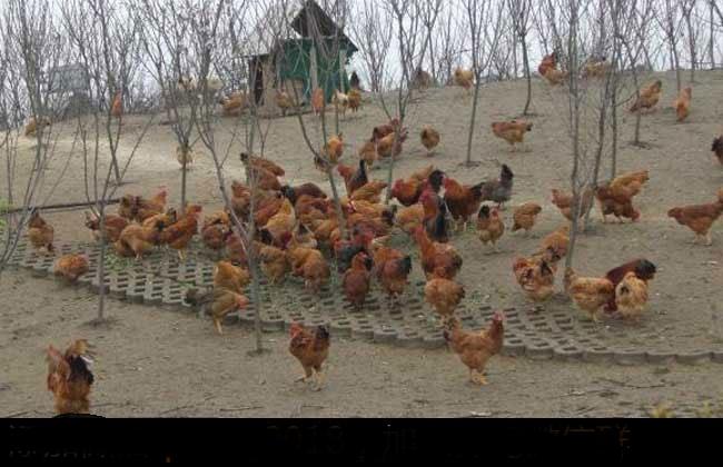 散养土鸡的成本与利润