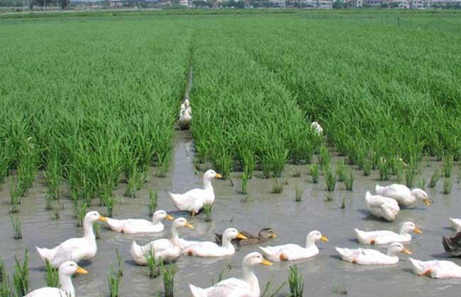 雏鸭的养殖和管理技术