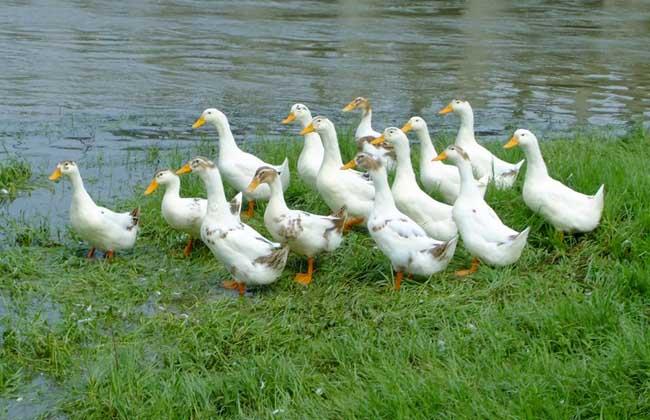 肉鸭养殖技术
