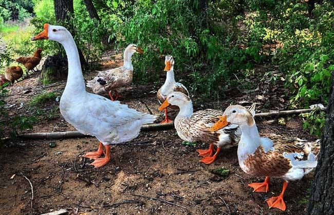 雏鸭养殖的关键技术