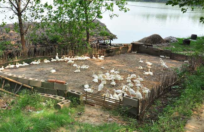 冬季肉鸭高效养殖技术
