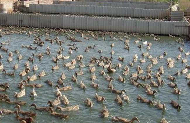 肉鸭育雏期饲养管理技术