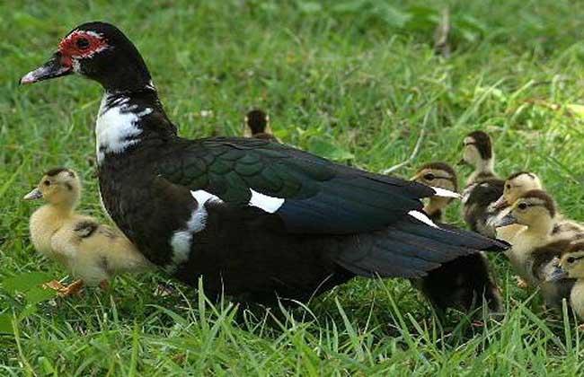 火鸭养殖的种鸭饲养管理