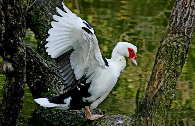 火鸭育雏鸭的管理措施