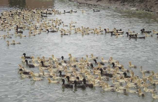 野鸭养殖场地址的选择和建设方案
