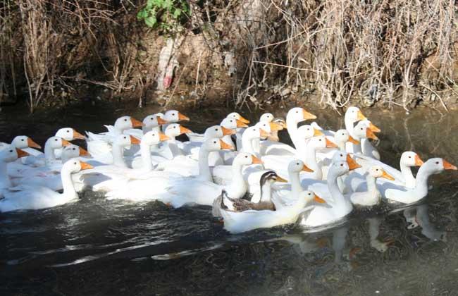 鸭的常用育雏方式