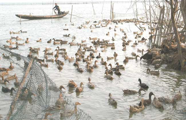 鸭子圈养的养殖管理