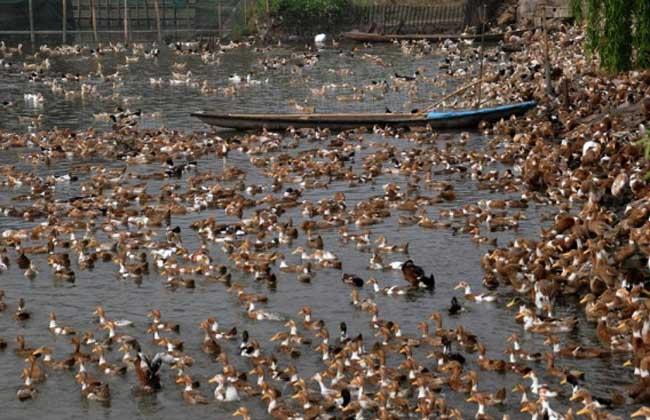 种鸭不同产蛋期的饲喂管理