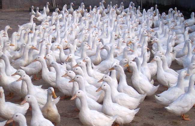 大棚养鸭技术