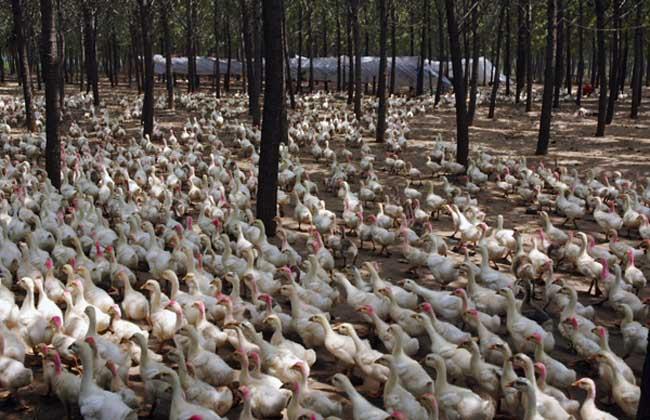 如何延长蛋鸭的产蛋高峰期