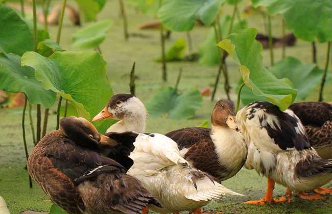 绿头野鸭的养殖技术