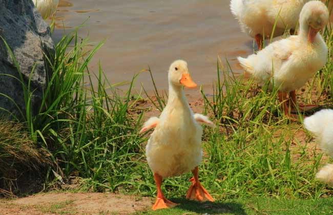 鸭子为什么会吃毛