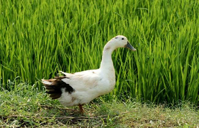 鸭子的性别分辨方法