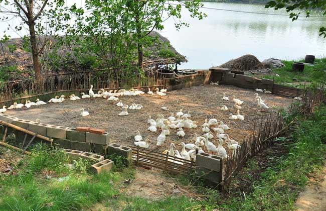 肉鸭养殖成本