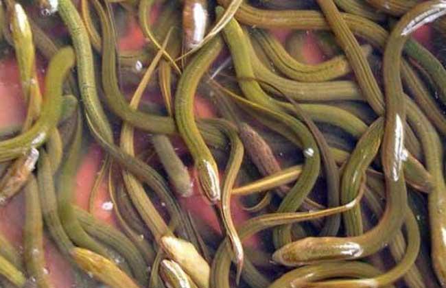 黄鳝网箱养殖