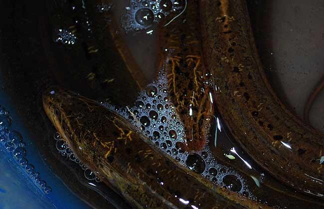 黄鳝养殖中的肠炎病的症状与防控措施