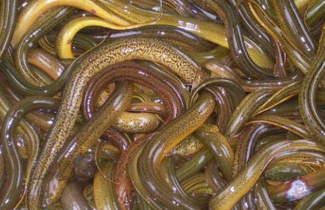 如何準確辨別黃鱔的雌雄