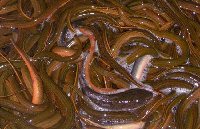 黄鳝养殖场网箱的架设方法