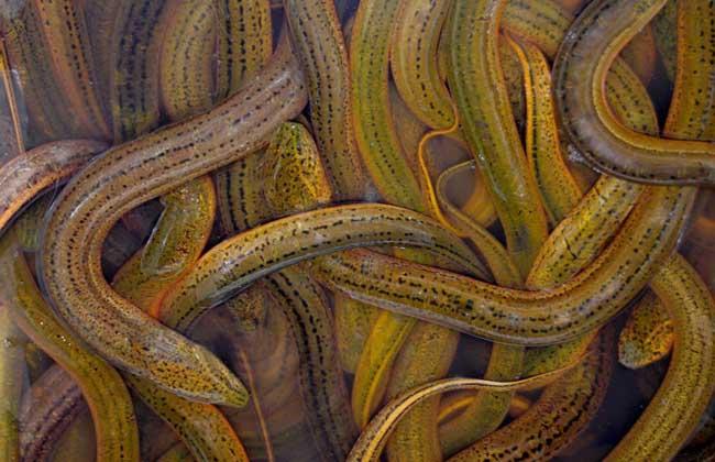 春季黄鳝养殖的技术