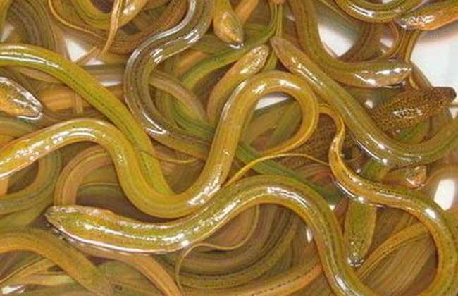 小池塘高密度養殖黃鱔的關鍵技術