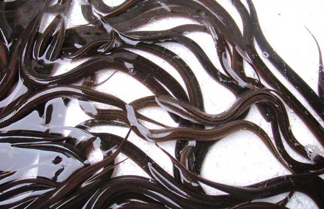 自来水养殖黄鳝