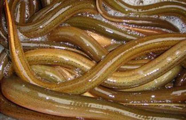 生石灰在黄鳝养殖中的使用