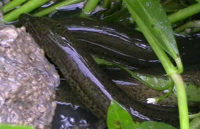 黄鳝水泥池养殖与网箱养殖的比较