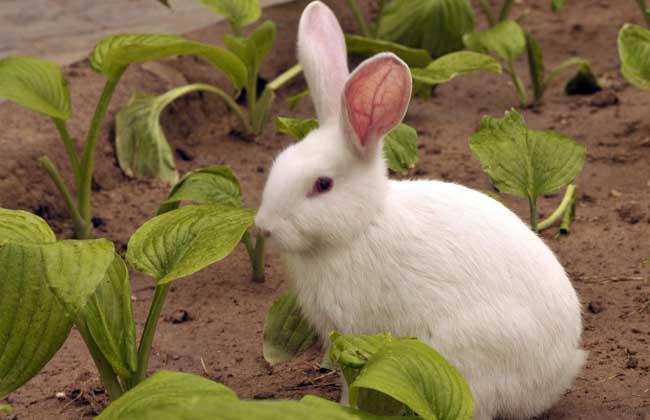 兔子养殖户可通过观察兔粪来巧治兔病