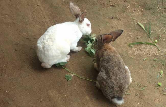 兔子养殖过程中饲喂注意事项