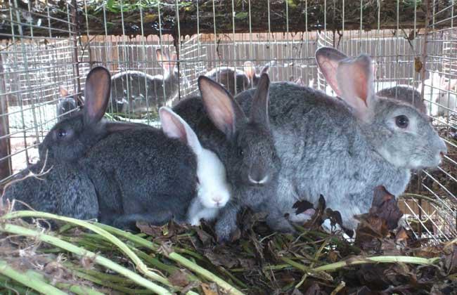 如何才能提高母兔受孕率