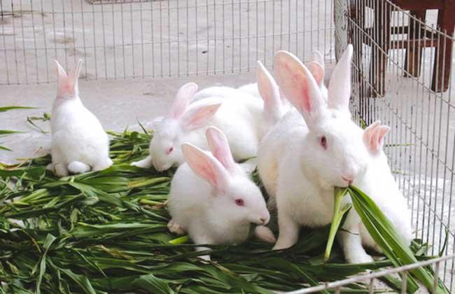 家兔冬季养殖的防疫工作
