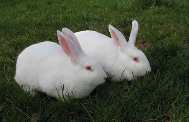 獭兔与家兔在生活习性上面的比较