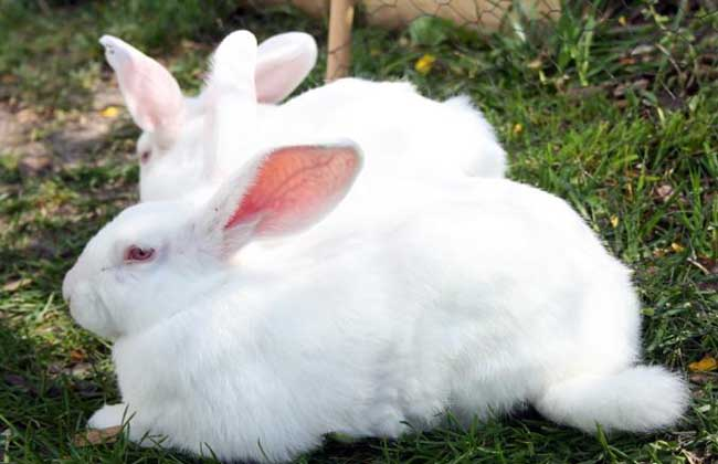 冬季如何养好兔子