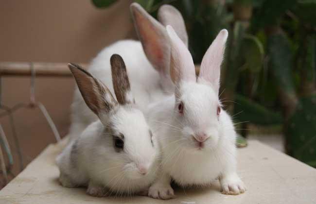 母兔是否怀孕的鉴别方法