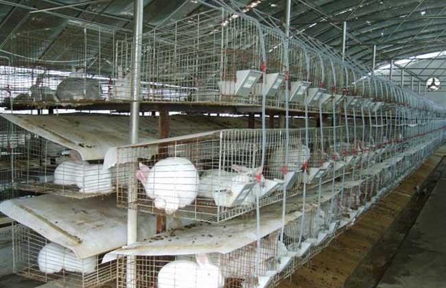 发展兔子养殖要如何才能成功