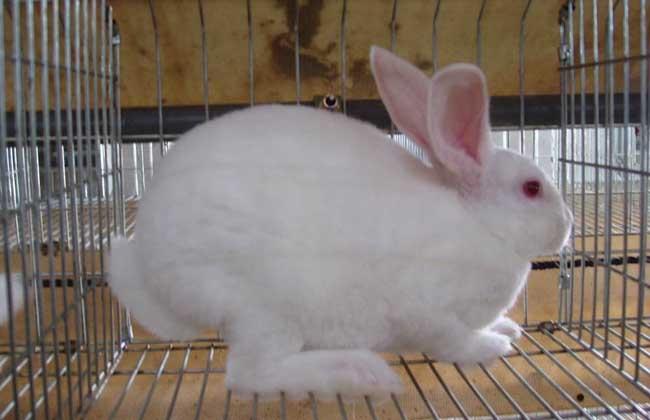 獭兔养殖与肉兔养殖的区别