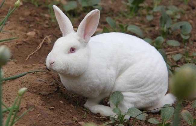 獭兔养殖与肉兔养殖有哪些区别